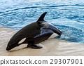 orca whale, killer whale outside pool 29307901