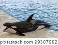 orca whale, killer whale outside pool 29307902