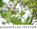 white-bellied, green, pigeon 29313366