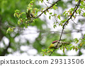 white-bellied, green, pigeon 29313506