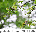 white-bellied, green, pigeon 29313507