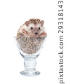 Hedgehog in the glass , African pygmy hedgehog 29318143