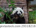 Panda 29318216