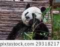 Panda 29318217