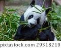 Panda 29318219