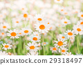 Chamomile field flowers border. background 29318497