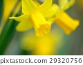 daffodil, yellow, narcissus 29320756
