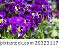 pansy, bloom, blossom 29323117