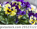 pansy, bloom, blossom 29323122