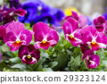 pansy, bloom, blossom 29323124