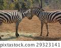 동물원의 얼룩말 29323141