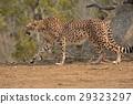 치타, 고양이과, 동물원 29323297
