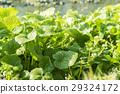 나가노 초봄의 대왕 와사비 농장 와사비 잎과 꽃 29324172