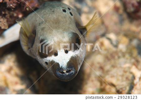 河豚 河豚魚 魚 29328123