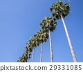 coconut palm, palm trees, palmtree 29331085