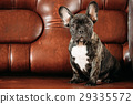 Young Black French Bulldog Dog Puppy With White 29335572
