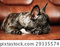 Black French Bulldog Dog Puppy With White Spot 29335574