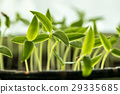 Young Sprouts With Green Leaf Or Leaves Growing 29335685