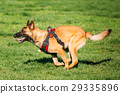 Malinois Dog Running Outdoors In Green Summer 29335896