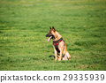 Malinois Dog Sit Outdoors In Green Summer Grass At 29335939