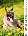 Malinois Dog Sit Outdoors In Green Grass 29335951
