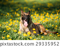 Malinois Belgian Shepherd Dog Sitting In Green 29335952