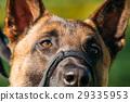 Close Up Of Malinois Dog With Muzzle. Belgian 29335953