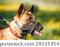 Close Up Of Malinois Dog With Muzzle. Belgian 29335954