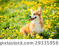 Pembroke Welsh Corgi Dog Puppy Sitting In Green 29335956