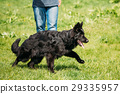 Black German Shepherd Dog Sit In Green Grass 29335957