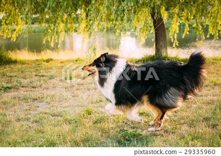 Shetland Sheepdog, Sheltie, Collie. Play Outdoor 29335960