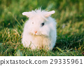 Dwarf Lop-Eared Decorative Miniature White Fluffy 29335961