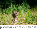 Small Cat Kitten Hunting In Green Grass Outdoor At 29336736