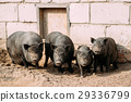 Household A Large Black Pigs In Farm. Pig Farming 29336799