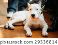 Young White Dogo Argentino Dog laying On Wooden 29336814