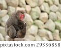 다카사키 산의 원숭이 (포옹 친자) 29336858