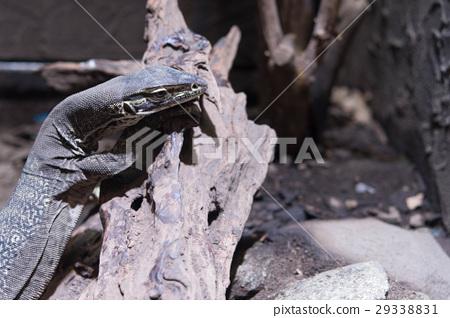 굴드 왕 도마뱀 애완 동물 사육 29338831