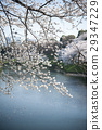 cherry blossom, cherry tree, In Bloom 29347229