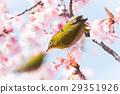Kawazu ต้นเชอร์รี่และเมซโซ 29351926