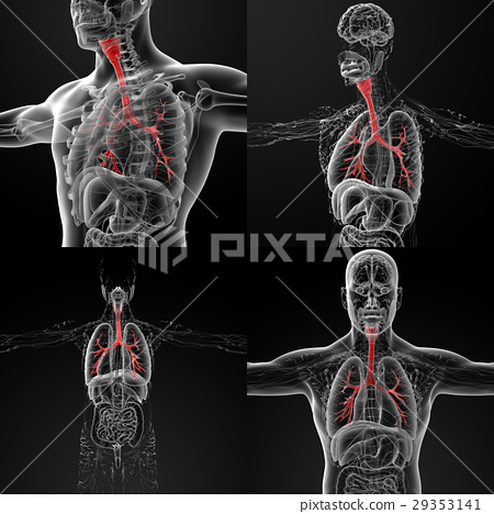 3D rendering illustration of the male bronchi 29353141