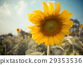 sunflower 29353536