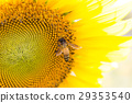 sunflower with bee 29353540
