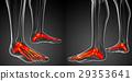 3d rendering illustration of the foot bone anatomy 29353641