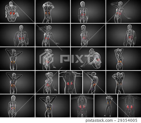 3d rendering medical illustration of human kidney 29354005