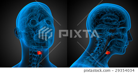 3d rendering medical illustration of the  larynx 29354034
