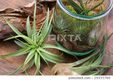 空气植物和玻璃容器内部绿色 29355760