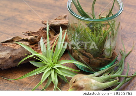 空中植物 室內盆栽 觀葉植物 29355762