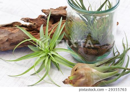 空气植物和玻璃容器内部绿色 29355763