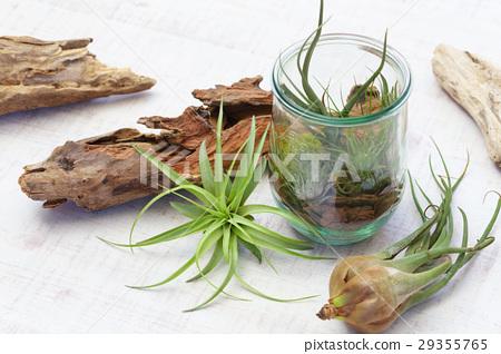 空中植物 室內盆栽 觀葉植物 29355765