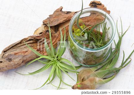 空中植物 室內盆栽 觀葉植物 29355896